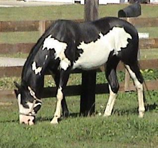 Black Overo Foal